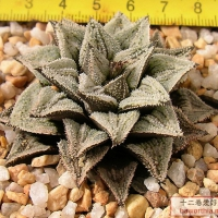Haworthia 'Peter Pan'彼得·潘